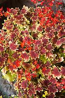 Pelargonium 'Vancouver Centennial' in red flowers, annual geranium fancy leaved, in cement pot planter container