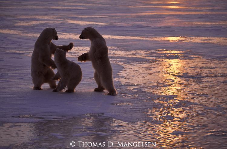 Three polar bears play fight.