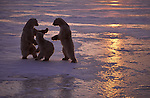 Three polar bears play fight.