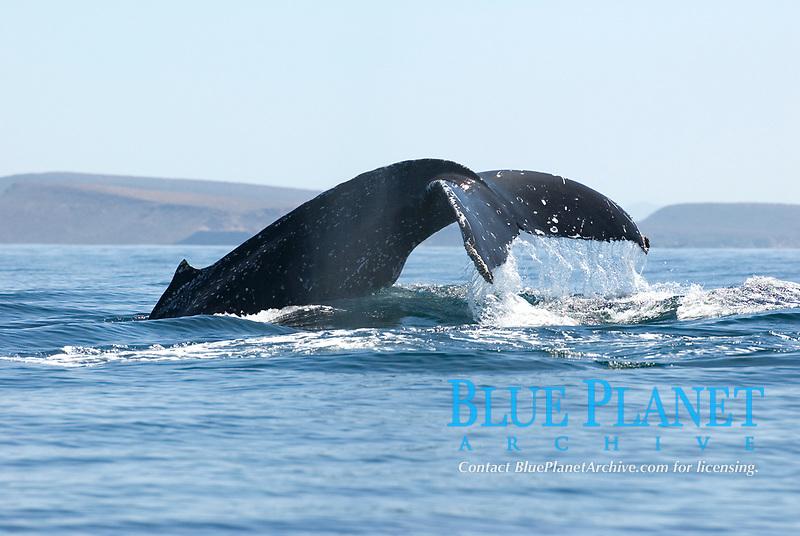 Humpback whale (megaptera novaeangliae) Gulf of California.The tail and dorsal hump of a humpback whale., Baja California, Mexico, Pacific Ocean