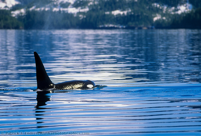 Orca spyhops in Aialik bay, Kenai Fjords National Park, Alaska