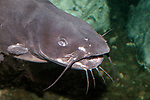 Channel Catfish close-up