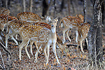 Spotted Deer,Ranthambhore National Park; Rajasthan