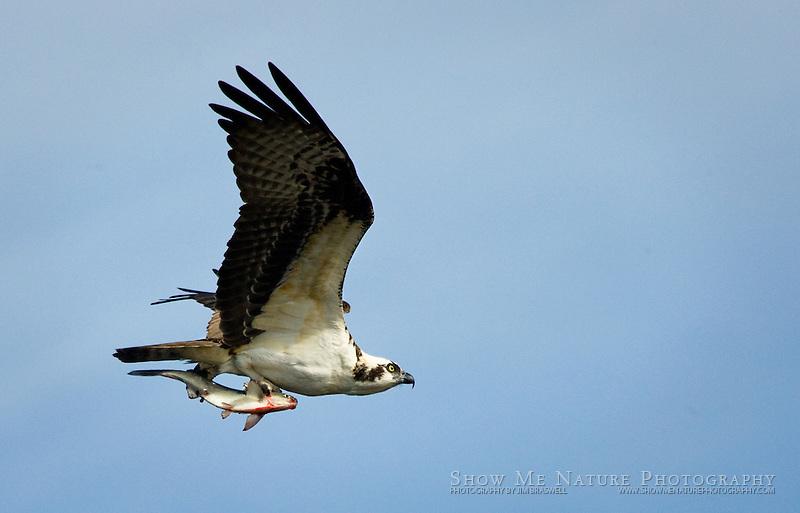 """Osprey with Fish"", Florida"