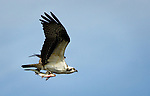 """Osprey with Fish"", Florida"