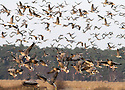 2013_01_07_pink_footed_geese