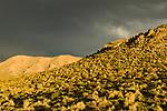 Peruvian Feathergrass (Jarava ichu) growing in dry puna grassland with storm, Abra Granada, Andes, northwestern Argentina