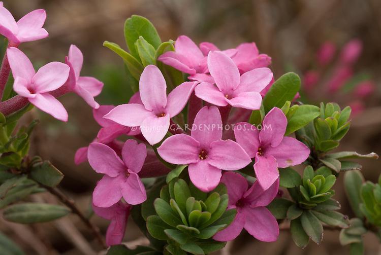 Daphne cneorum 'Eximea' in spring pink flowers