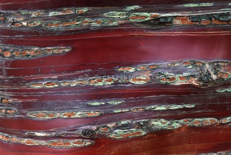 Prunus serrula tree bark detail (Birch Bark Cherry) full frame