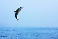 Pantropical Spotted Dolphin calf, leaping, Stenella attenuata, off Kona Coast, Big Island, Hawaii, Pacific Ocean.