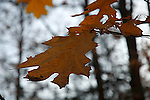 Leaves of red oak tree, Quercus rubra