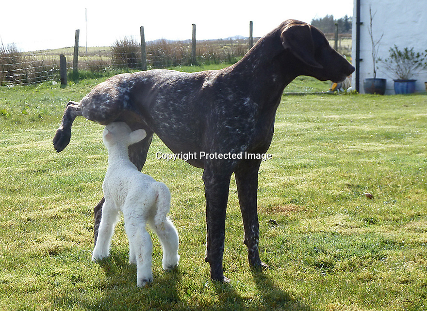 """03/05/16 <br /> <br /> ***BEST QUALITY PHOTO AVAILABLE***<br /> <br /> Lamb tries to suckle Jess.<br /> <br /> A newborn lamb, abandoned by its mother and close to death, has been nursed back to life by an unusual carer – a German shorthaired pointer dog.<br /> <br /> Full story here: <br /> <br /> http://www.fstoppress.com/articles/dog_adopts_lamb/<br /> <br /> .And the now the unlikely couple are best friends and go everywhere together, including sleeping in the same bed.<br /> <br /> But it could have been a very different ending as the lamb was born a week ago, on one of the coldest days this year with torrential snow, hail and rain, on the Isle of Skye in Scotland.<br /> <br /> The dog's owner, Lee Mather explained: """"I was keeping an eye on my neighbour's sheep while they were lambing.<br /> <br /> """"I have no sheep myself and know nothing about lambing.<br /> <br /> """"The lamb was one of twins and initially both were fine, but when checking on them shortly after, this little lamb hadn't been cleaned up by his mother, and was completely still and freezing cold.<br /> <br /> """"He had very little life left.<br /> <br /> """"I took him indoors not really expecting much, but as soon as I took him in, Jess my three-year-old German shorthaired pointer instantly took to him, cleaning him up and keeping him warm.<br /> <br /> All Rights Reserved: F Stop Press Ltd. +44(0)1335 418365   +44 (0)7765 242650 www.fstoppress.com"""