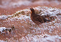 08/01/16<br /> <br /> After weeks of higher than average temperatures, a grouse is surrounded by snow as an icy dawn breaks over Axe Edge in the Derbyshire Peak District near Buxton.<br /> <br /> All Rights Reserved: F Stop Press Ltd. +44(0)1335 418365   +44 (0)7765 242650 www.fstoppress.com