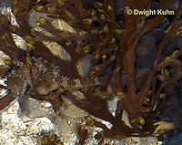 TP05-504z  Lined Seahorse [Northern Seahorse], Hippocampus erectus
