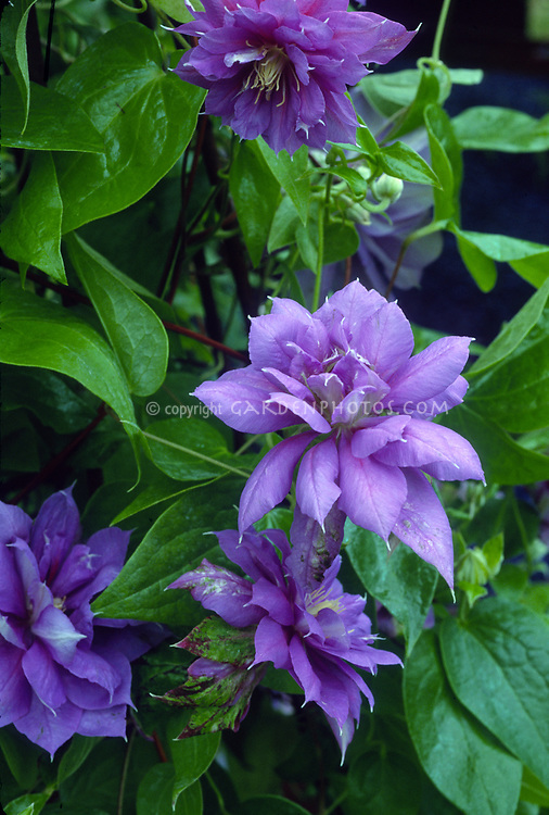 Clematis 'Gemini' Early Large-flowered double lilac-blue fading to lilac with creamy yellow anthers perennial climbing vine