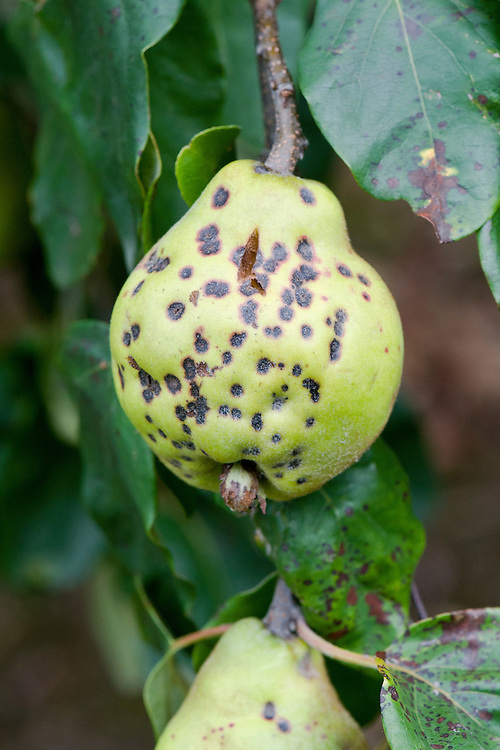 Quince tree infected with the fungal disease scab, early September. Dark-brown scabs appear on the skin and on leaves, and may spread to cover much of the surface. Badly affected fruits are small and distorted, and may crack and rot.