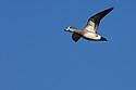 00318-006.09 American Wigeon Duck (DIGITAL) drake in flight against a blue sky.  Waterfowl, hunt, wetlands, action.  H3L1