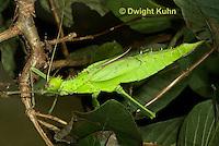 OR07-579z Jungle Nymph Walking Stick female, Heteropteryx dilatata, Malaysia