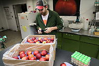 Alex Goke, a research assistant, polishes some Cosmic Crisp apples at the Washington State University (WSU) Tree Fruit Research and Extension Center, in Wenatchee, WA on April 13, 2018. (Photo by Karen Ducey)