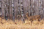 White-tailed doe standing at the edge of a forest in northern Wisconsin.