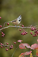 Crested Tit (Parus cristatus), adult perched on berry laden branch of European cranberrybush (Viburnum opulus), Oberaegeri, Switzerland, Europe