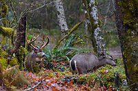 Columbian black-tailed deer (Odocoileus hemionus columbianus) large buck and does on rainy fall day.  Olympic National Park, WA.  November.