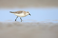 Red-necked Stint (Calidris ruficollis) in basic plumage. Rudong, China. October.