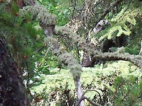 Great horned owl peering through the forest by Slave Lake Alberta.