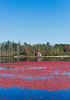 Cranberriess float in a flooded bog ready to harvest, New Jersey, USA