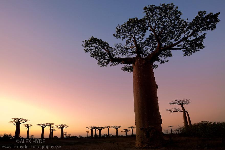 Boabab trees {Adansonia grandidieri} silhouetted at sunset. Morondava, Madagascar.