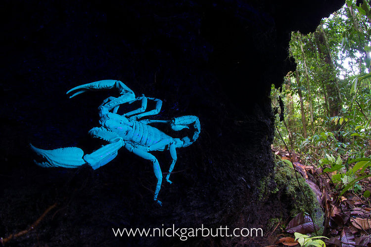 Borneo giant forest scorpion (Heterometrus longimanus) resting inside a fallen hollow log. Danum Valley, Sabah, Borneo. Photographed illuminated with UV light. See image NMG7181 for comparison with natural light.