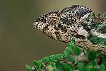 Male Warty or Spiny-backed Chameleon (Furcifer verrucosus). Spiny forest, Berenty, Madagascar.