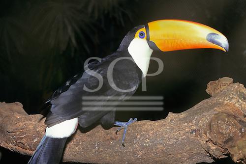 Amazon, Brazil. Yellow-beaked toucan sitting on a log.