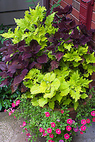 Container garden of annuals: coleus mixed with Calibrachoa Watermelon Red, Solenostemon Colorblaze Marooned and Yellow Ruffles, pot planter, upright foliage plants with trailing flowering plant
