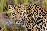 south africa,leopard