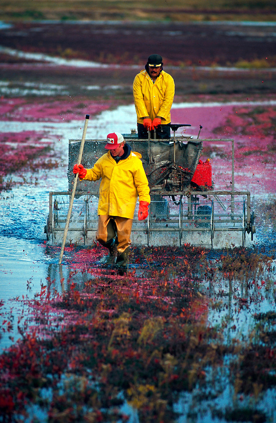Overview of farmers and equipment in a cranberry bog at harvest. Carver, Massachusetts.