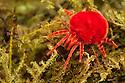 Giant Indian Velvet Mite {Trombidium grandissimum}, captive, originating from India. website