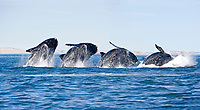 Breaching's sequence of a Southern right whale, Eubalaena australis , Conservation Dependant (IUCN), UNESCO Natural World Heritage Site, Golfo Nuevo, Peninsula Valdes, Chubut, Patagonia, Argentina, Atlantic Ocean (digital composite)