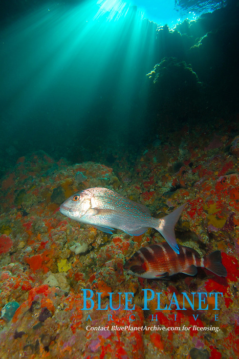 Snapper (Pargus auratus), red moki (Cheilodactylus spectabilis) and orange wrasse in archway. Poor Knights Islands, New Zealand. South Pacific Ocean