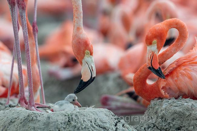 American Flamingo (Phoenicopterus ruber) with chick. Yucatan, Mexico.