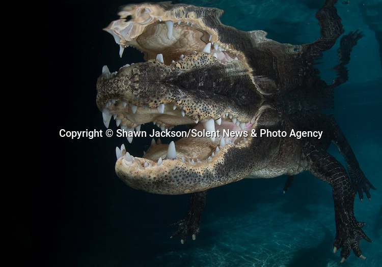"An alligator shows off its huge teeth in these close-up underwater shots.  The 10ft-long American alligator flashed its pearly whites as it came within touching distance of a daring photographer. <br /> <br /> Shawn Jackson said swimming with the fearsome predator near the Everglades in Florida, USA, was 'incredible'.  The 40 year old professional photographer, who is from the Caribbean island of Roatan, said: ""I wanted to experience being up close and personal with an animal that is essentially a dinosaur.  SEE OUR COPY FOR DETAILS.<br /> <br /> Please byline: Shawn Jackson/Solent News<br /> <br /> © Shawn Jackson/Solent News & Photo Agency<br /> UK +44 (0) 2380 458800"
