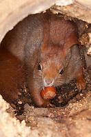 Eichhörnchen, Europäisches Eichhörnchen, frisst Haselnuss, Haselnuß, Nuss, Nuß in Baumhöhle, Höhle, Sciurus vulgaris, European red squirrel, Eurasian red squirrel