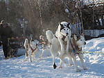 Beautiful sled dogs ready to go