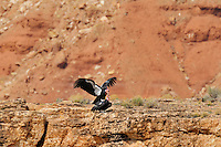 California Condor (Gymnogyps californianus)mating near Grand Canyon National Park, Arizona.