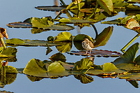 """Spotted Sandpiper (Actitis macularius) standing on """"wocus"""" or yellow pond lily leaf.  Klamath Marsh National Wildlife Refuge, Oregon.  June."""