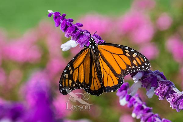 Monarch butterfly (Danaus plexippus) in flower garden, Big Sur area, CA.  Fall.