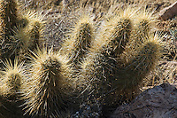 Hedgehog cactus, Echinocereus engelmannii, Organ Pipe Cactus National Monument, Arizona.