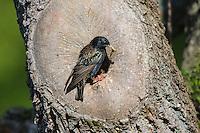 Star, an natürlicher Bruthöhle, Baumhöhle, Nisthöhle, mit Futter, fütternd, Nest, Sturnus vulgaris, European starling