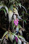 Glowing Puffleg (Eriocnemis vestita) feeding on wild orchid (Eleanthis sp.). Paramo, Chingaza National Park, Colombia.
