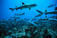 Whitetip Reef Sharks, Triaenodon obesus, scour the reef for prey, Cocos Island, Costa Rica, Pacific Ocean